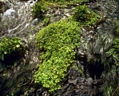 Watercress in a mountain stream