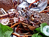 Detail of a fresh spiny lobster (Panulirus penicillatus)