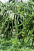 Pitahaya (Hylocereus triangularis, Thailand), cultivation