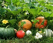 Pumpkins and pumpkin plants