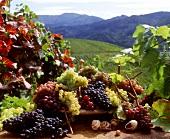 Grapes, vineyard behind