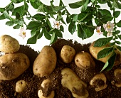 Flowering potato plant and potatoes on soil