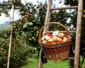 Freshly picked apples in basket
