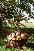 Wicker basket of apples in front of apple tree