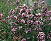 Oregano in open air (Origanum vulgare)