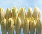 Chicoree in Reihen liegend