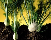 Fennel bulbs with leaves and roots
