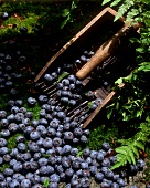 Fresh blueberries with harvesting tool (blueberry rake)