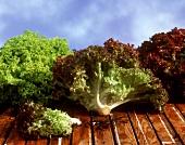 Lettuce: Lollo rosso and Lollo bianco