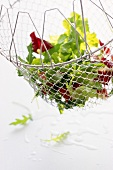 Frisch gewaschene Blattsalate im Abtropfsieb