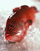 Strawberry grouper