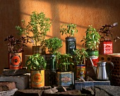 Various types of basil, planted in food tins