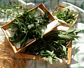 Fresh herbs for drying laid out on a tray