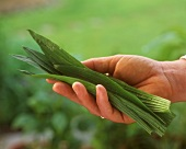 Hands holding fresh ribwort plantain leaves (medicinal plant)