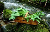 Ramsons (wild garlic) in chip basket by a stream