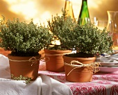 Thyme in flower pots as table decoration
