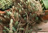 Reflexed stonecrop (Sedum reflexum)