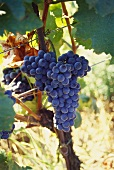 'Blauer Zweigelt' grapes on vine (Burgenland, Austria)
