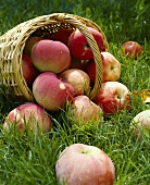 Apples and basket of apples in meadow