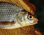 Roach (Rutilus rutilus), close-up