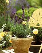 Lavender plant in a pot on garden chair