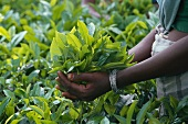 Tea-growing: hands holding freshly picked tea leaves (India)