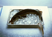 A whole sturgeon on a baking tray with ice cubes
