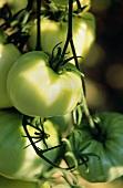 Beige tomatoes, White Wonder variety