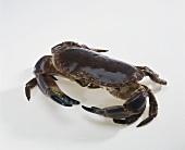 Crab (alive)