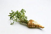 A Hamburg parsley root