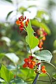 Several red runner bean flowers on the plant