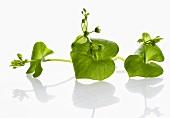 Three small purslane plants