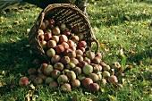 Wicker basket of apples, fallen over in grass