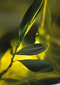 Olive leaves leaning against an olive oil bottle