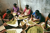 Cardamom being cleaned (Kerala, India)