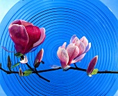 Sprig of magnolia with flowers on blue glass plate