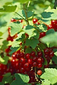 Redcurrants, 'Jonkher van Tets' variety (close-up)