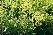 Lady's mantle in flower-bed (close-up)