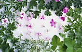 Scented geraniums, various types