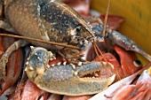 Breton lobster in a crate