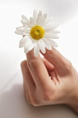 Woman's hand holding a marguerite