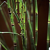 Several bamboo canes