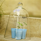Young plants in plastic pots under a glass cloche