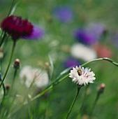 weiße & rote Kornblumen im Freien (lat. Centaurea cyanus)