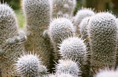 Mammillaria in a group