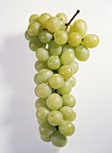 White grapes (variety: Italia, Italy)