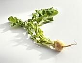 Teltow turnip (Brassica rapa subvar. pygmaea), with leaves