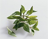 Mexican basil (Ocimum basilicum)