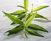 Lemon-scented verbena (Lippia citriodora, Aloysia triphylla)