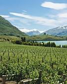 Rippon Vineyard am Lake Wanaka, Central Otago, Neuseeland